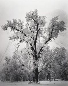 Yosemite Oak Tree Ansel Adams