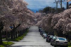 Moss Street in the spring. Photo by Doug Clement. Vancouver Island, Sidewalk, Victoria, Canada, Street, March, Spring, Side Walkway, Walkway