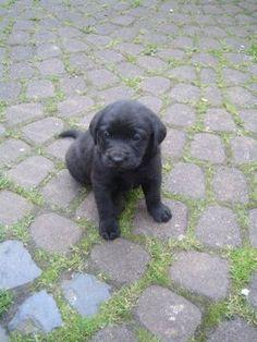 Labrador Retrievers, Schwarzer Labrador Retriever, Black Lab Puppies, Stress, Dog Cat, Cats, Labradors, Adorable Animals, Awesome