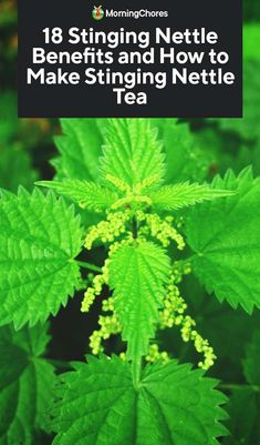 Despite the nasty name, Stinging Nettle is a herb with many medical uses. Here we discuss Stinging Nettle benefits, and how to easily make a tea with it. Nettle Benefits, Lemon Benefits, Coconut Health Benefits, Tomato Nutrition, Stomach Ulcers, Natural Antibiotics, Types Of Tea, Natural Cures, Natural Healing