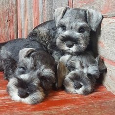 Ranked as one of the most popular dog breeds in the world, the Miniature Schnauzer is a cute little square faced furry coat. Miniature Schnauzer Puppies, Schnauzer Puppy, Schnauzers, Cute Puppies, Cute Dogs, Dogs And Puppies, Doggies, Cute Baby Animals, Animals And Pets