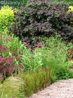 COMBO: Japanese blood grass (Imperata cylindrica 'Rubra'), 'Lauren's Grape' poppy (Papaver), crimson scabious (Knautia macedonica), and 'Red Majestic' contorted hazel (Corylus avellana).