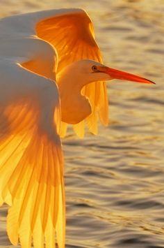 Egret at Sunset, Pismo Beach, California