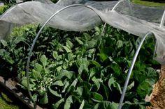 Black Kales, cabbage spring greens & Kohl Rabi more mature