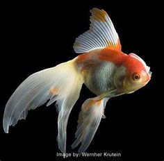 Fantail Goldfish Art Print by Wernher Krutein. All prints are professionally printed, packaged, and shipped within 3 - 4 business days. Choose from multiple sizes and hundreds of frame and mat options. Colorful Fish, Tropical Fish, Poisson Rouge Oranda, Fantail Goldfish, Goldfish Aquarium, Photo Animaliere, Carpe Koi, Beautiful Fish, Exotic Fish