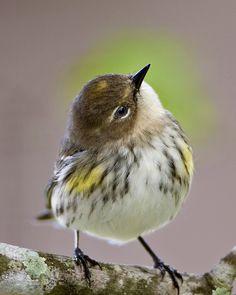 Butter Butt!  Yellow-rumped Warbler | Flickr - Photo Sharing!