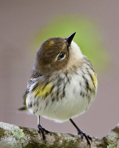 Yellow-rumped Warbler | Flickr - Photo Sharing!