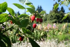 Autumn Bliss Raspberries at Gravetye Manor.