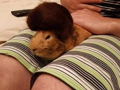 My friend just cut her hair and used the leftovers to make a toupée for her guinea pig