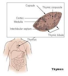 Stress abbauen: Thymusdrüse selber aktivieren | Philognosie