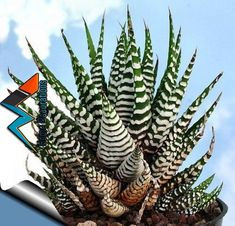 Zebra Haworthia Plant - Easy to grow/Hard to kill! - Pot -unique form jmbamboo Easy to grow Prefers bright, indirect light, or morning sun Water when dry Slow growing Immediate shipping in pot