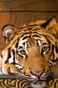 Belo tigre!