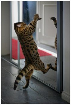 Cat is fighting with her image while looking in mirror ..