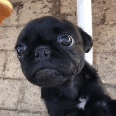 """Visit our web site for more information on """"black pugs"""". It is actually a superb area to learn more. Black Pug Puppies, French Bulldog Puppies, Cute Dogs And Puppies, French Bulldogs, English Bulldogs, Corgi Puppies, Cute Baby Animals, Funny Animals, Animal Attack"""