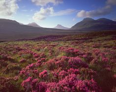 Legendary Scottish heather. View of Quinag (right) and Ben More Assynt (far left) from near Lochinver, NW Highlands, Scotland. Photo by Michael Stirling-Aird www.transformedbylight.com