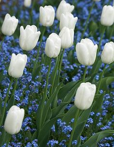 White garden: Tulip 'White Dream' produces bowl-shaped blooms on 45cm stems in April and May. Plant in a pot at the front of the border and ring the changes through the year with crocus, alliums, lilies, and agapanthus.
