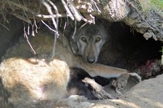 On May 3rd, Wingham Wildlife Park welcomed their first ever European Wolf pups. Wolves have been part of Wingham Wildlife Park since 2013, when Dakota (the mother of this litter of pups) and her sister Arya arrived at the UK from Parc Animalier de Sainte Croix in France, to be joined later in 2015 by male, Raksha, from Bern Zoo in Switzerland.