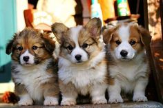 for Joyce, my corgi pal. if i was in a position to have a dog, it would be a corgi :-) Cute Puppies, Cute Dogs, Dogs And Puppies, Corgi Puppies, Chubby Puppies, Baby Corgi, Corgi Mix, Funny Dogs, Animals And Pets