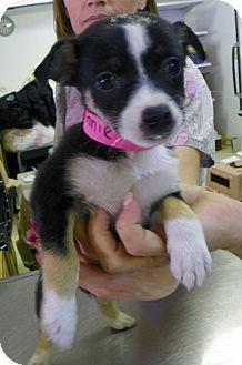 Waldorf, MD - Chihuahua Mix. Meet Minnie a Puppy for Adoption.