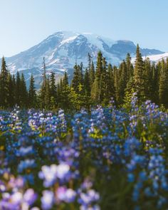 The 10 Best Mt Rainier Hikes For Jaw-Dropping Views - Dani The Explorer - - Exploring Mount Rainier National Park soon? Check out the 10 best Mt Rainier hikes you're not going to want to miss during your visit! Cairngorms National Park, Yoho National Park, Crater Lake National Park, Capitol Reef National Park, Plitvice Lakes National Park, National Park Posters, California National Parks, Grand Teton National Park, Rocky Mountain National Park