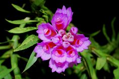 Orchid: Dendrobium dichaeoides - Flickr - Photo Sharing!