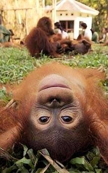 Baby Orangutan! Is he not the cutest little guy youve ever done seen?