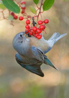 Wesern Bluebird, CA.  Photo: sea25bill, via Flickr