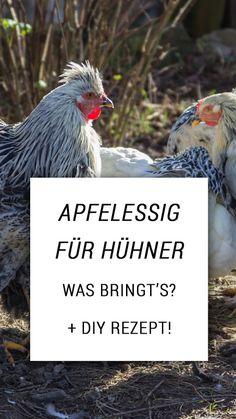 """Apfelessig für Hühner - Was ist """"dran""""? Gibt es handfeste Studien, die den Apfelessig in die Reihen der Medizin schubsen, oder bleibt's beim altbewährten Hausmittel? Baby Chicks, Bird, Gardening, Animals, Chicken, Reindeer, Pet Chickens, Farm Animals, Bird Food"""