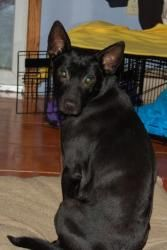 Leena is an adoptable Labrador Retriever Dog in East Amherst, NY. Leena is a wonderful girl who is a joy to have around the house. She is sweet, smart and super loving. Her foster family thinks she's ...