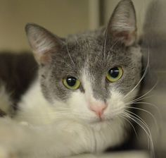 FLIP (A23419932) Death Row. located at Philadelphia's animal control shelter, ACCT. Needs immediate adoption, rescue or foster care. ACCT is located at 111 W Hunting Park Ave and is open 365 days a year. Adoption hours are are 1-8 Monday through Friday and 10-5 on weekends. To check the status of an animal, call 267-385-3800, or email lifesaving@acctphilly.org