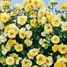 Large clusters of buttery yellow blooms are borne in amazing abundance and repeat strongly throughout the season. Unlike most yellow roses, it is vigorous and disease-resistant and will grow quickly to cover a fence or trellis with clean leaves on strong 10-12' canes. Exceptionally hardy for a yellow! Zones 4-9.