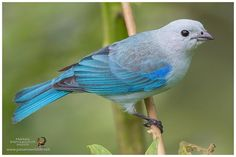Blue-Gray Tanager / Tangara Azuleja (Thraupis episcopus)