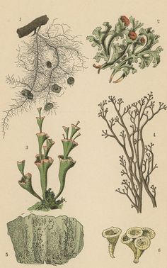 1888 moss lichen saprobic fungus original by antiqueprintstore