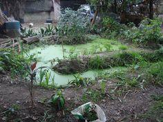 Estaque final de tratamiento de aguas grises, repleto de plantas y peces!