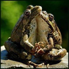 frogs in love :)
