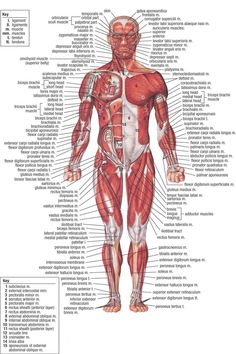 Diagram Back Muscles Upper Back Human Anatomy Diagram – Anatomy ...