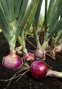 Have you had trouble growing onions? Growing onions can be tricky but these great tips will have you growing a bumper crop of healthy onions. 9 Tricks For Growing Onions. ( Also has a link to an extensive article on how to mulch properly. Garden Seeds, Organic Gardening, Herbs, Plants, Planting Onions, Growing Vegetables, Food Garden, Garden Plants, Gardening Tips