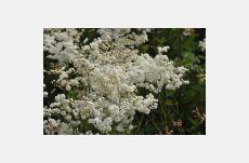 Filipendula vulgaris Plena ( reine des prés ) achat/vente en ligne en Suisse, Filipendula vulgaris Plena ( reine des prés ) acheter/vendre en Suisse