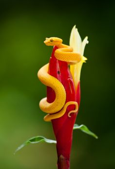 The eyelash viper (Bothriechis schlegelii), is a venomous pit viper species found in Central and South America. By Tom Fiore on 500px