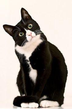 "Tuxedo Cat says, ""Meow"""