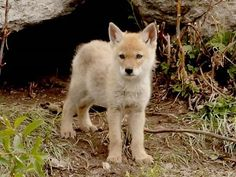 Baby Coyote Pups | Our 2007 Yellowstone trip was perhaps the most disappointing to date ...