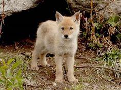 coyote pup. so adorable.