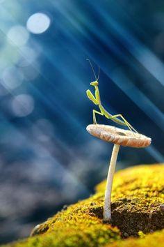 Mushroom: Photograph Praying Mantis by budi. Praying Mantis sat on mushroom basking in the sunshine. Beautiful Creatures, Animals Beautiful, Cute Animals, Unique Animals, Beautiful Bugs, Amazing Nature, Foto Macro, Fotografia Macro, A Bug's Life