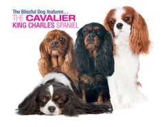 THE CAVALIER KING CHARLES SPANIEL - LOVE WRAPPED IN FUR!
