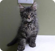 Westampton, NJ - Domestic Longhair. Meet Shane 33057030, a kitten for adoption. http://www.adoptapet.com/pet/16521099-westampton-new-jersey-kitten