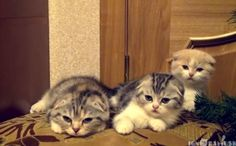 Daily Cute: Contagious Yawning Kittens-video