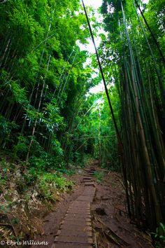 Bamboo Forest, Manoa Valley' O'ahu