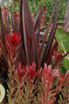 Leucodendron 'Jester', Phormium 'Guardsman' I love this combo for the front of your house Landscaping Plants, Plants, Plant Combinations, Planting Flowers, Tropical Garden Design, Native Garden, Garden Shrubs, Australian Native Garden, Colorful Garden