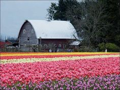 The history of Dutch Tulips is amazing. Until today, the dutch tulips remain one of the brightest associations when it comes to describing Holland's t Netherlands Tourism, Tulip Season, Dutch Tulip, Tulips Garden, Green Garden, Daffodils, Flower Farmer, Tulip Fields, Old Barns