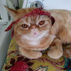 Mind on my chicken and chicken on my mind.  #exoticshorthair #cat #cute #flatface #meow #mreggs #catlover #exoticsofinstagram #smushface #buzzfeedcats